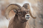 A bighorn sheep ram exhibits the Flehmen response during the rut in Dubois, Wyoming.