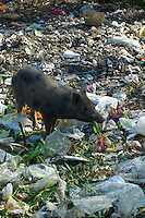 Pig Scavenging Rubbish at Mehrauli Flower Market, New Delhi, India