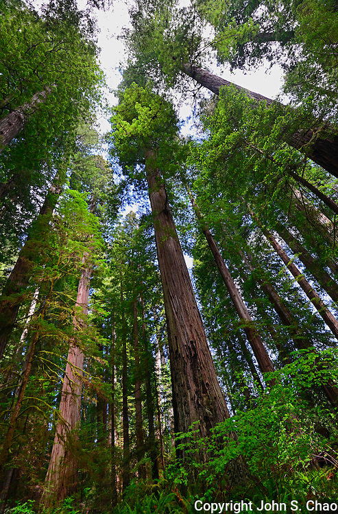 Vertical of Redwood trees highlighted by sunlight, Stout Grove, Jedediah Smith State Park, Redwood National Park, California.