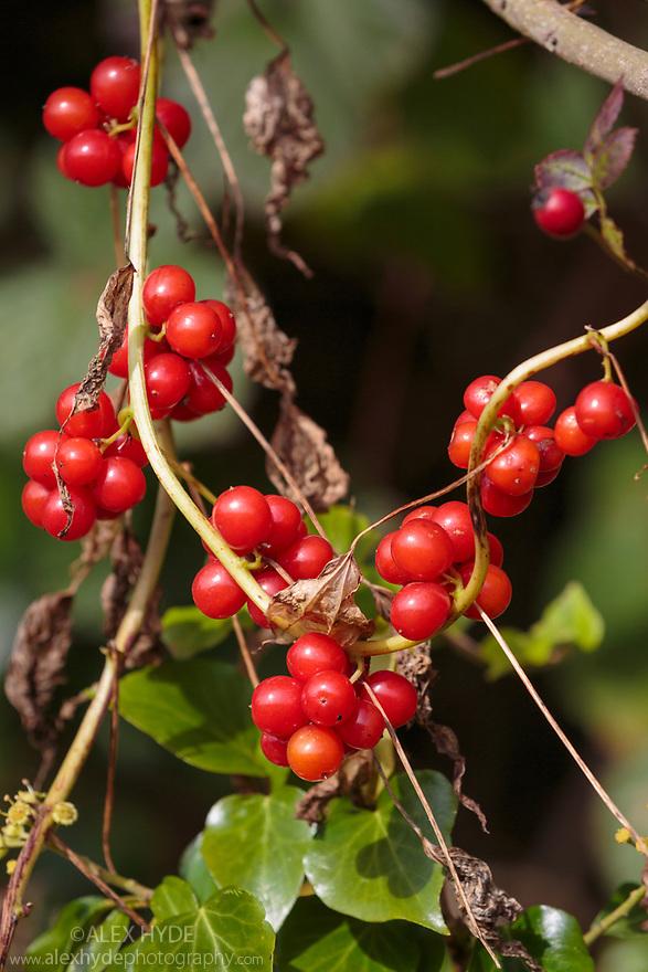 Black Bryony {Tamus communis} berries. Derbyshire, UK. October.