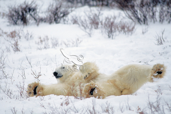 Male Polar Bear stretching after awaking from nap.  Canada.  November.