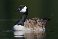 Canada Goose (Branta canadensis) swimming on a pond in Edmonton, Alberta, Canada