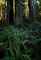 Ferns and Coastal Redwoods in Northern California.