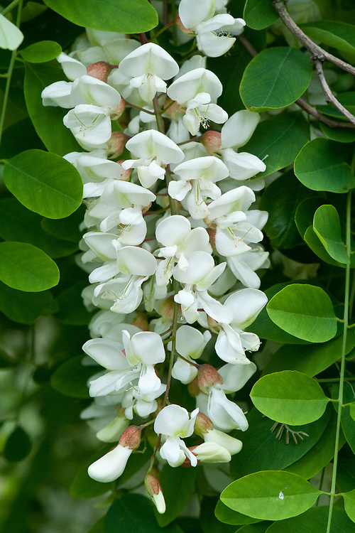 Flowers of Robinia viscosa, mid May. Commony known as the Clammy locust tree, native to the southeastern United States.