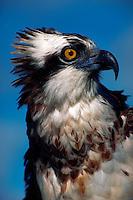 Close-up of Osprey face and eye, Islamorada, Florida