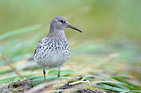 Juvenile Rock Sandpiper (Calidris ptilocnemis) of the subspecies C. p.  tschuktschorum. Yukon Delta National Wildlife Refuge, Alaska. September.