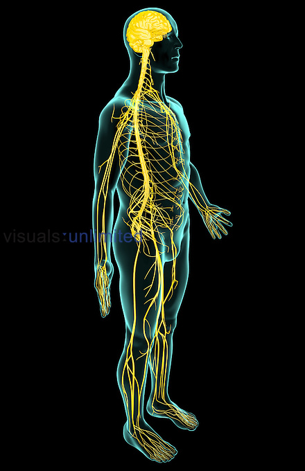An anterolateral view (right side) of the nervous system. The surface anatomy of the body is semi-transparent and tinted green. Royalty Free