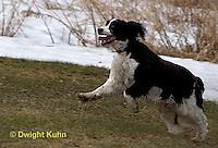 SH25-779z English Springer Spaniel Dog running