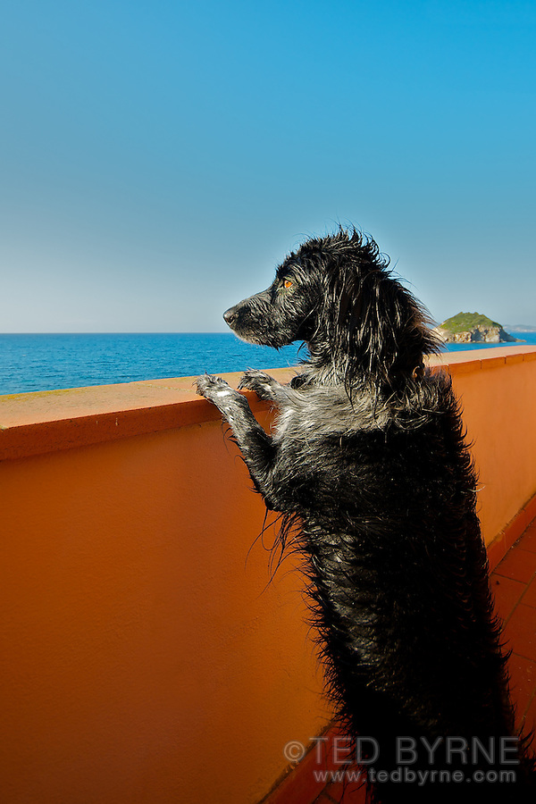 Wet labrador dog standing on hind legs looking out to ocean from balcony