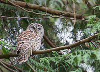 I was surprised to get my first barred owl of the year in an unexpected place: my in-laws' yard!