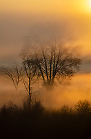 Trees silhouette in sunrise fog at Phyllis Haehnle Memorial Sanctuary, Jackson County, Michigan