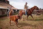 Calf marking and branding with Gary Joses at the Guttenger Barn, San Andreas, Calif.