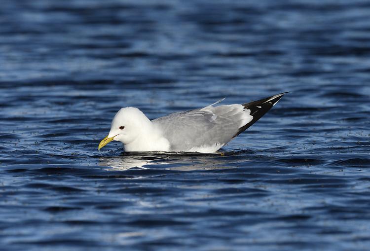 Common Gull - Larus canus - feeding on emerging midges, Arctic Norway