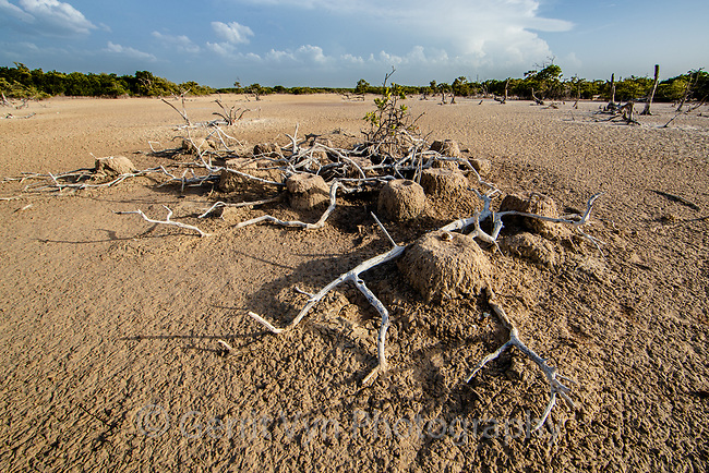 Depredated and abandoned American Flamingo (Phoenicopterus ruber) nests. Yucatan, Mexico.