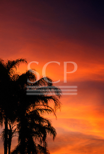 Brazil. Palm trees in the Atlantic rain forest in silhouette against the sunset.