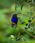 Perched - Violet Sabrewing Hummingbird