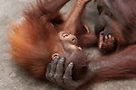 Bornean Orangutan (Pongo pygmaeus wurmbii) - juvenile playing with mother.