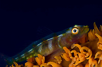 Wire Coral Goby,Bryaninops yongei,found mainly on Wire Coral, Cirripathes anguina, Pulau Wetar, Indonesia, Indo- Pacific Ocean