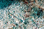 Gillellus uranidea, Warteyed stargazer, Florida Keys