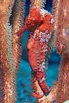 Hippocampus reidi, Longsnout seahorse, Roatan