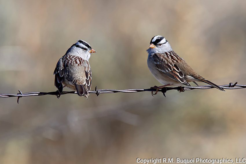 White-crowned Sparrows at Pawnee National Grasslands