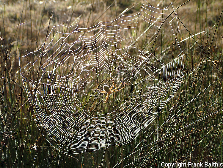 spider and web in meadow, Henry Cowell Redwoods SP