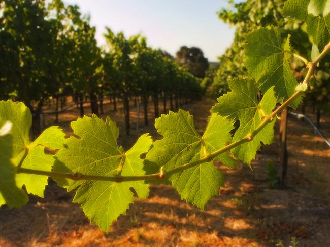 Vineyard in Carneros regions of Napa Valley