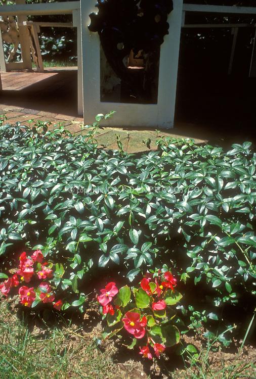 Vinca minor as groundcover next to patio, with begonias