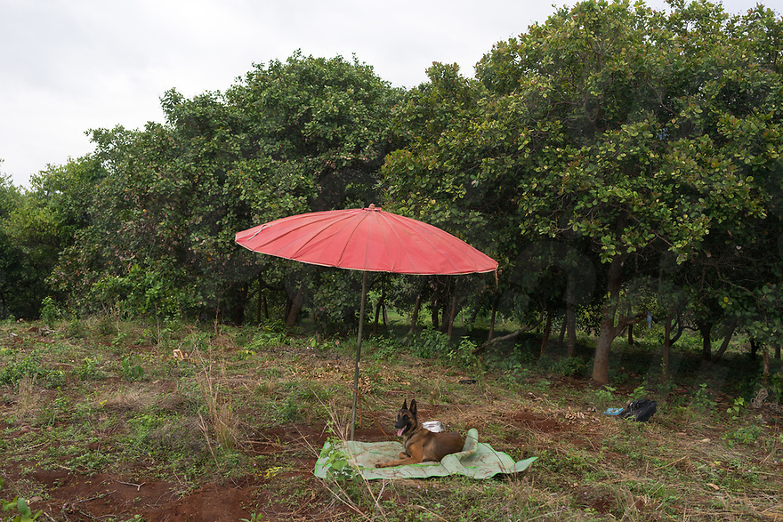 April 27, 2017 - Banlung (Cambodia). One of the NPA dogs has a rest under an umbrella during a clearance mission in a contaminated cassava field in the provincial capital Banlung. NPA has recently started using explosive detection dogs in their clearance missions as they are faster than metal detectors. It takes around a year to complete the training for the dogs and they're instructed in Norwegian by the handlers. © Thomas Cristofoletti / Ruom