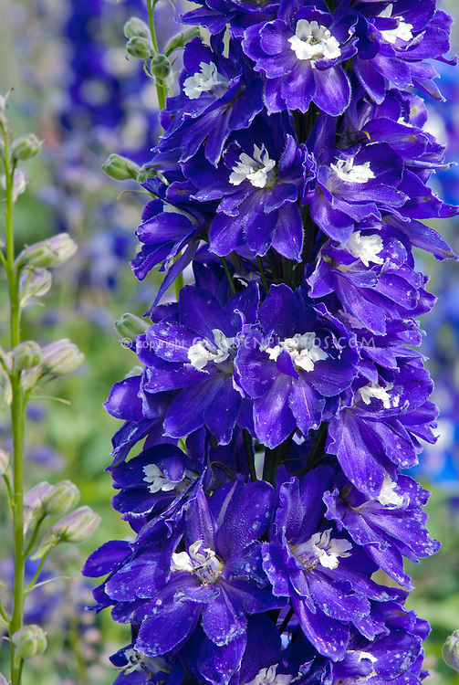 Delphinium Magic Fountains Dark Blue White Bee, seed-raised early