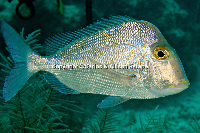 Calamus nodosus, Knobbed porgy, Florida Keys