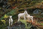 Dall sheep with lambs, Denali National Park, Alaska