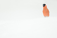 Male Bullfinch in the snow (Pyrrhula pyrrhula), Finland, April 2015