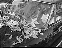 Dead leafs on a black car