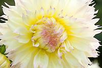 Dahlia in bloom