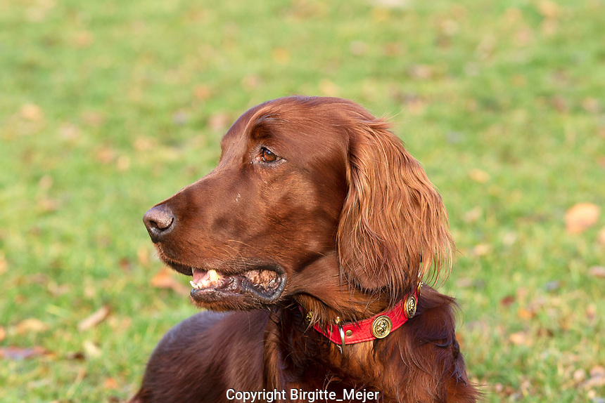 Outdoor close up headshot of Irish Setter with blurred out background