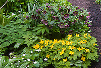 Helleborus x hybridus with gold flowered Hylomecon japonica and double Anemone nemerosa in spring bloom