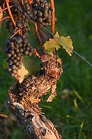 Europe/Europe/France/Midi-Pyrénées/46/Lot/Caillac:  Vignoble AOC Cahors du Château  de La Grézette détail vieux cep et grappe cépage malbec