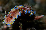 Girdled glossodoris nudibranch, Glossodoris cincta, Raja Ampat, West Papua, Indonesia, Pacific Ocean