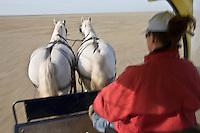 Europe/France/Picardie/80/Somme/Baie de Somme/Saint-Quentin-en-Tourmont : Sortir Nature en calèche avec un guide ornithologique, Parc du Marquenterre  avec chevaux  de trait de race boulonnaise