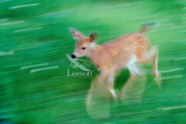 Black-tail deer fawn running, Olympic N.P., WA, July