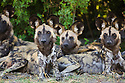 African wild dogs (Lycaon pictus) resting in shade, Moremi Game Reserve, Okavango Delta, Botswana