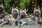 African wild dogs (Lycaon pictus) resting in shade, Moremi Game Reserve, Okavango Delta, Botswana