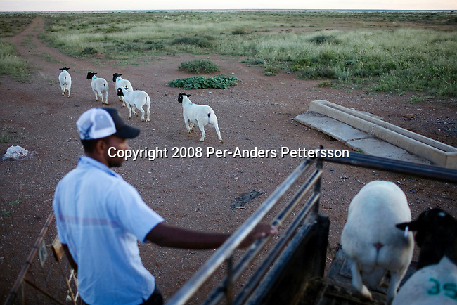 KOICHAS, NAMIBIA APRIL 3: An unidentified farm worker releases sheep from a pick-up truck on April 3, 2008 on a rural farm in Koichas, Namibia. Mr. Biwa, the black owner, has been one of the beneficiaries of recent land reform in Namibia, which gives land back to the black population. He farms Karakul sheep. (Photo by Per-Anders Pettersson/Getty Images)..