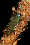 Jewel Beetle, Family: Buprestidae, metallic green colour, antennae, Provence.France....
