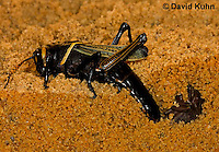 0913-0801  Adult Horse Lubber Grasshopper Depositing Eggs Underground - Taeniopoda eques © David Kuhn/Dwight Kuhn Photography.