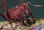Soldier Ant, Leaf Cutter, Atta cephalotes, close up of jaws Amazon Rainforest, Iquitos, Peru, macro, large mandibles. .Peru....