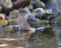 Adult sharp-shinned hawk bathing