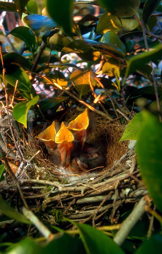 Northern Mocking Bird chicks in nest.
