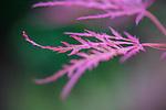 Pink leaf at Mt Tomah Botanical Gardens, Blue Mountains, Sydney, NSW, Australia